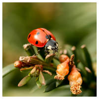 Coccinelle I by Ernestine-SB
