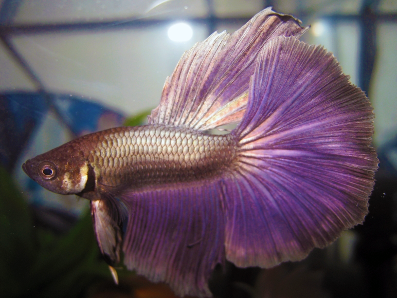 Halfmoon betta fish by tahimik on deviantart for Types of betta fish petco