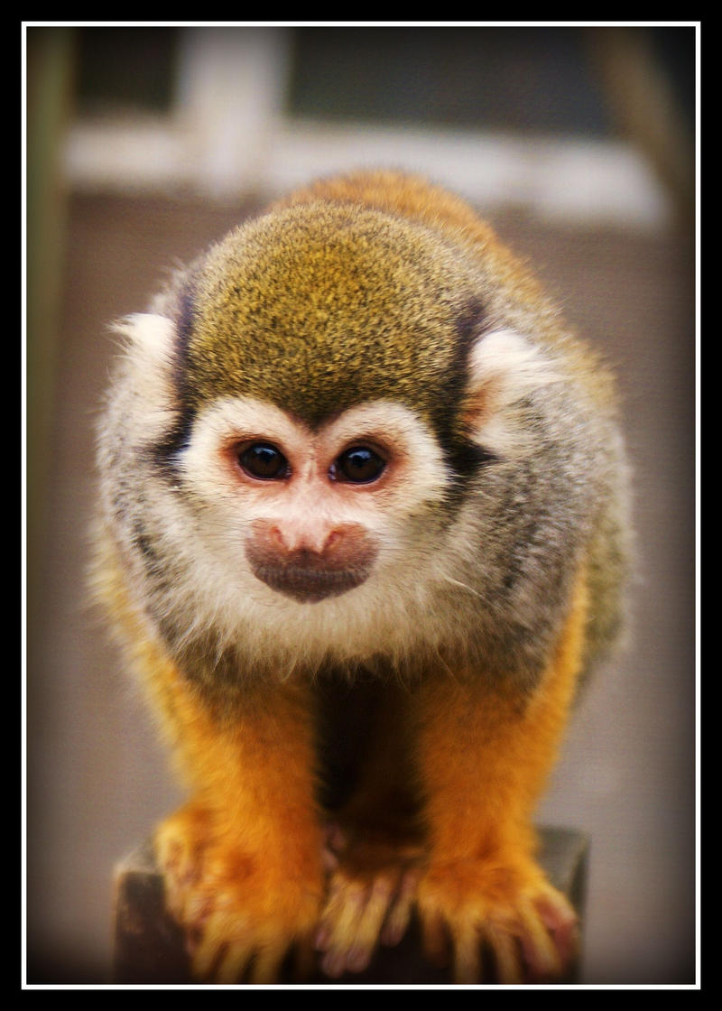 Squirrel_Monkey_by_Michelle_xD.jpg