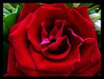 Rose by J-pod