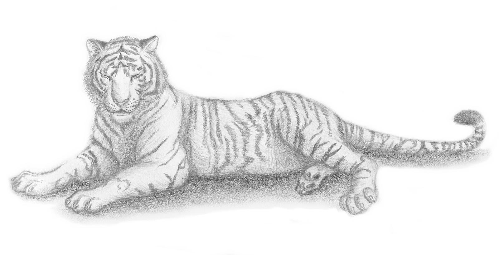 Tiger sketches in pencil photo22