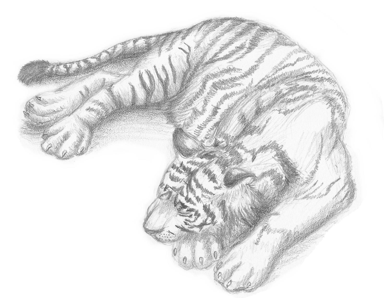 Tigre Sketch: Tiger Sketch 2 By Legend13 On DeviantArt