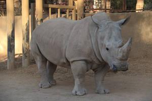 White Rhinoceros 001