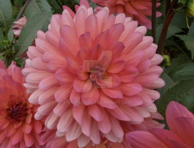 Burst of Pink by RachelGoo