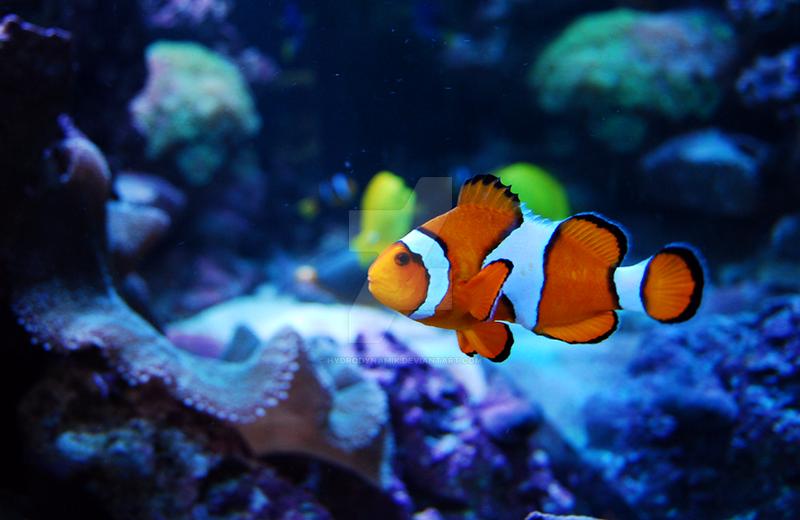 Clown Fishie by Hydrodynamik