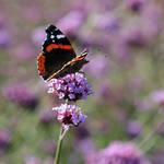 Purple dreams by Erdbeerstern
