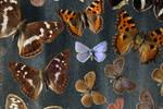 lepidoptera unique by Erdbeersternchen