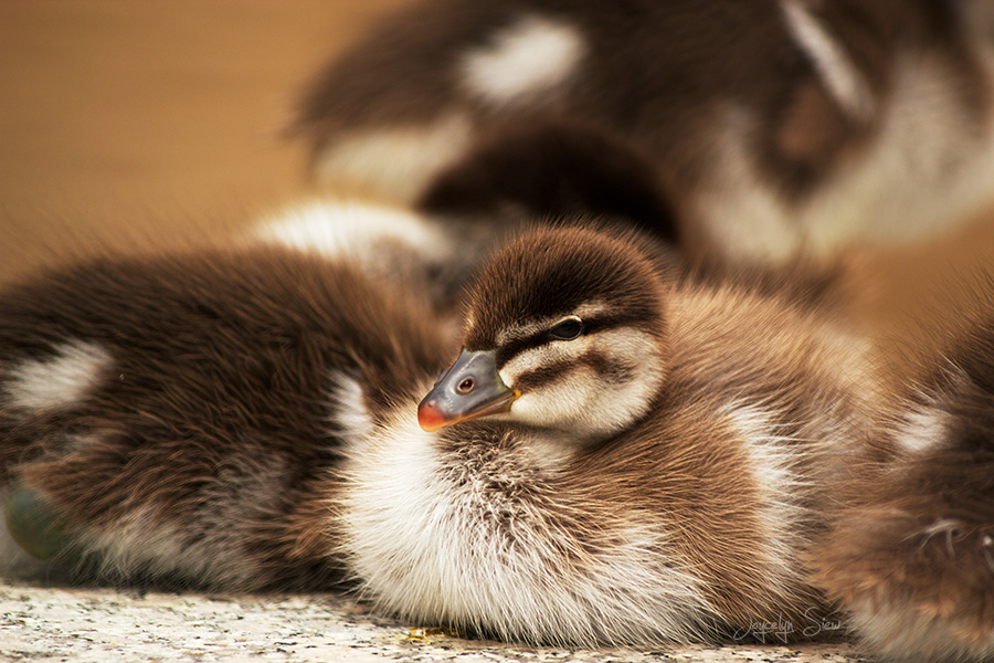 The Duckling by JoycelynSiew