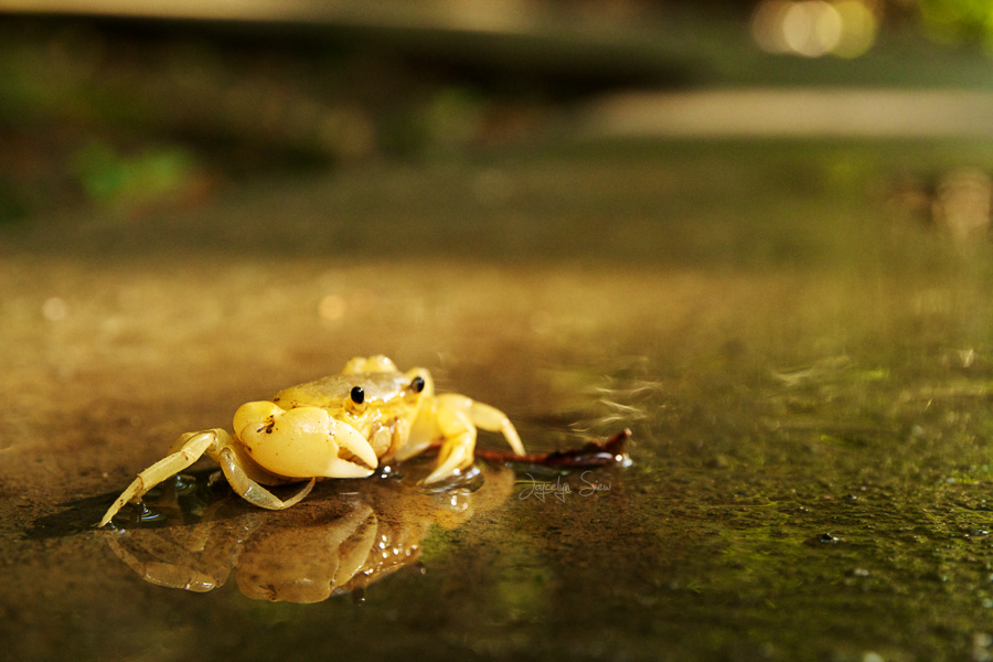Reflections of a Crab by JoycelynSiew