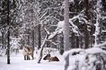 Reindeers in Lapland by JoycelynSiew