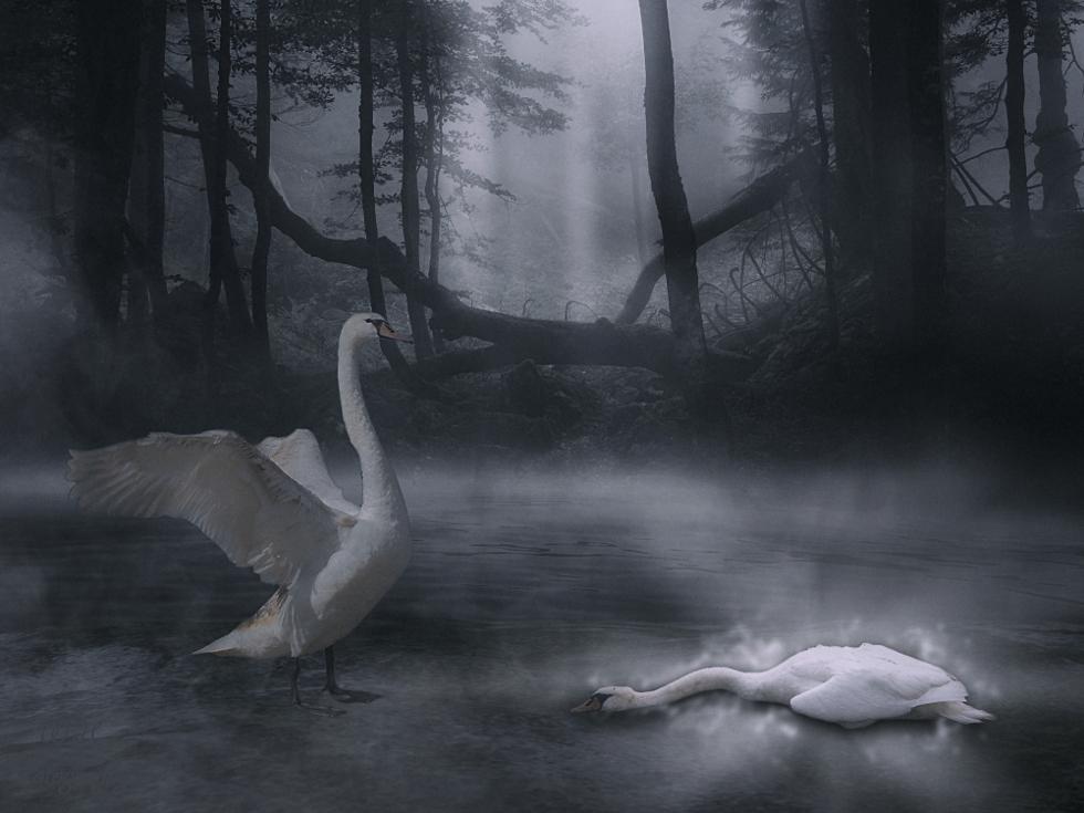 ...Swan King....... by jopageri62