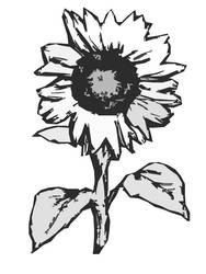 Sunflower in gray and white