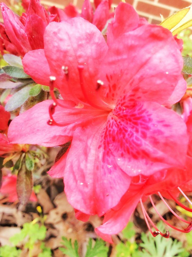 Pink Azalea Flower By Silverpantherea On Deviantart