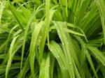 Stock Rained Grass 2
