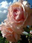Peach Beauties