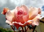 Optimistic Rose