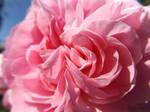 Rose Flounces