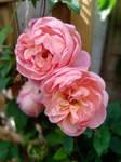 Dreamy Peach Roses