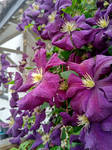 Cascading Purple Clematis