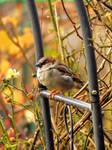 Golden Sparrow Dreams