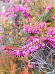 The Beauty Of Heather