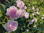 A Swathe Of Roses