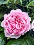 Swirl Of A Rose