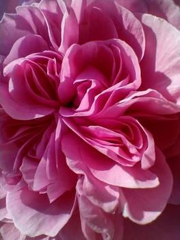 A Ruffle Of Petals