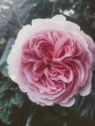 Yester Rose