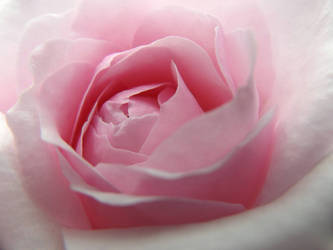 A Rosy Dream by BotanicalGirl