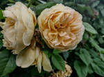 Romance n Roses