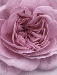 Pastel Pink Ruffles