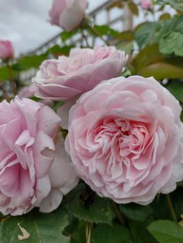 Living A Rosy Dream