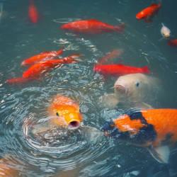 .: Koi carp Pond :. by Frank-Beer