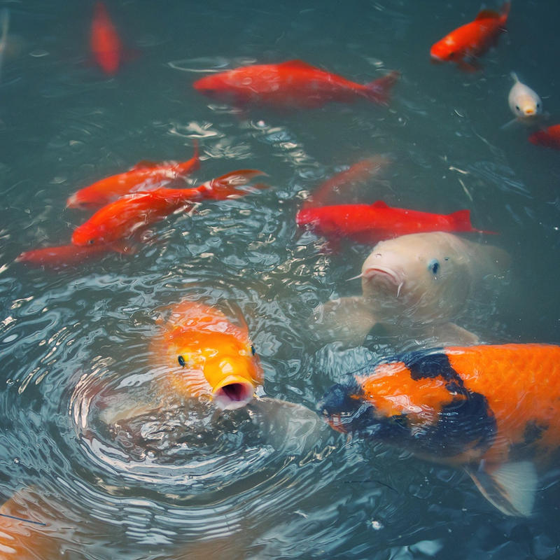 Koi Carp Pond By Frank Beer On Deviantart