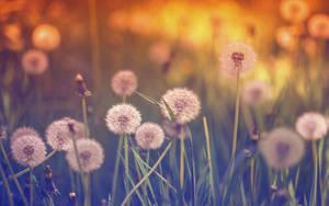 .: Dandelion Dreams :.