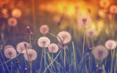 .: Dandelion Dreams :. by Frank-Beer