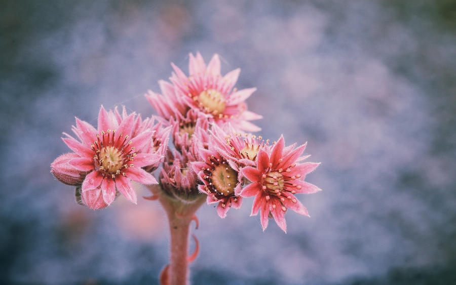 .: Stoneflower Blossom :. by Frank-Beer