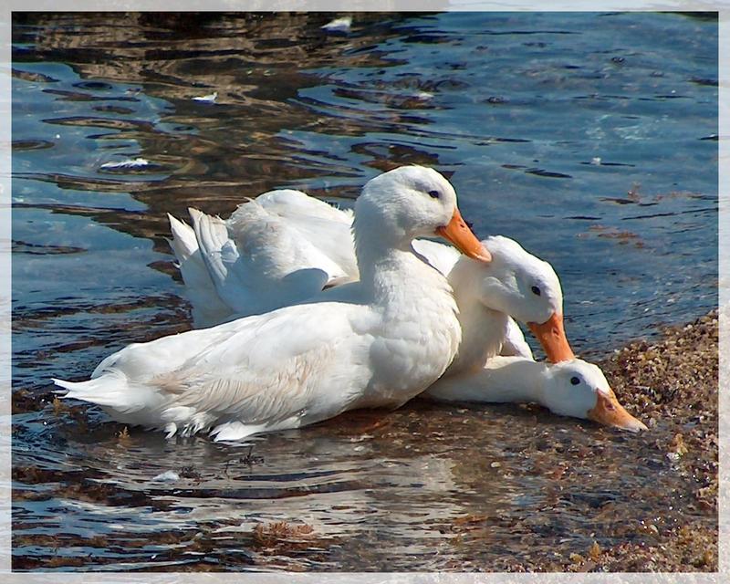 ducks by puffy69