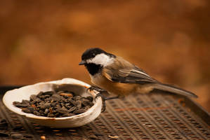chick adee by carpatlarge