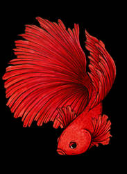 Red Betta by Dracuria