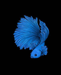 Betta Blue by Dracuria