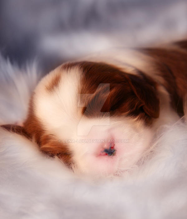 Cavalier Puppy by Lena-Lou