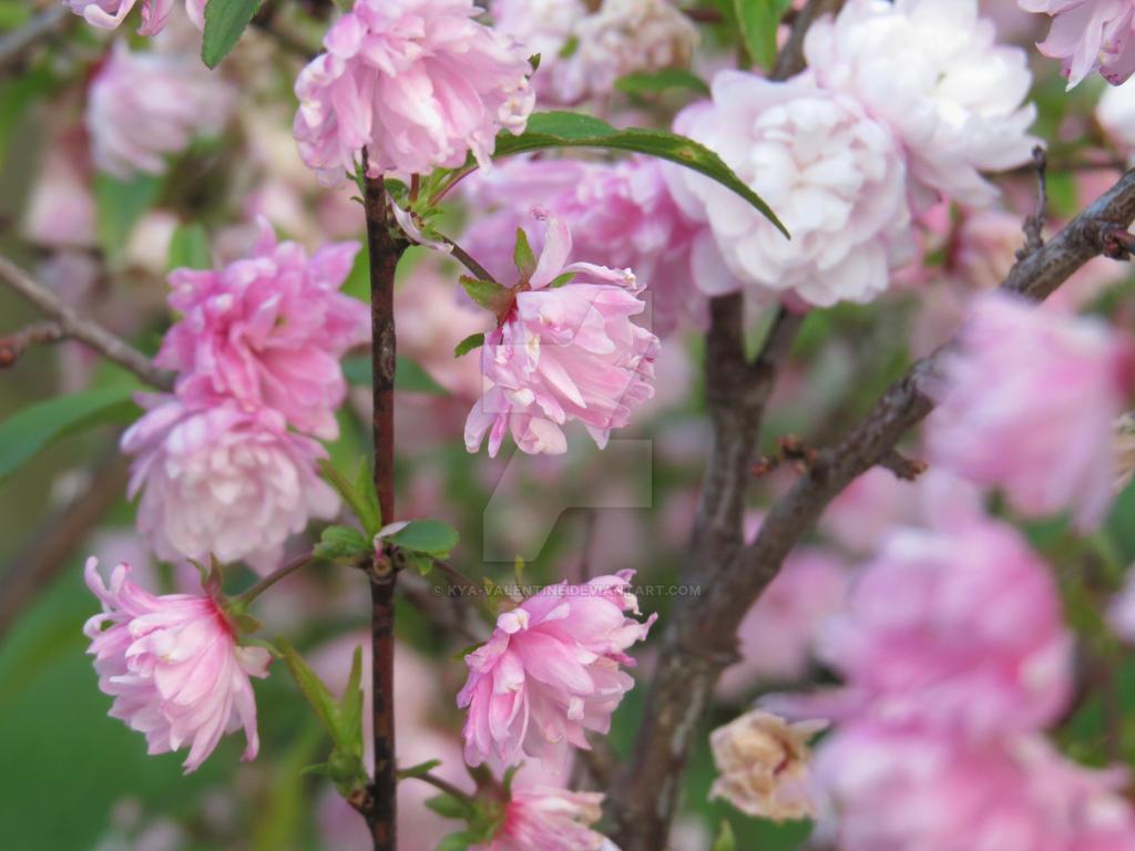 Flowering Almond II by Kya Valentine on DeviantArt