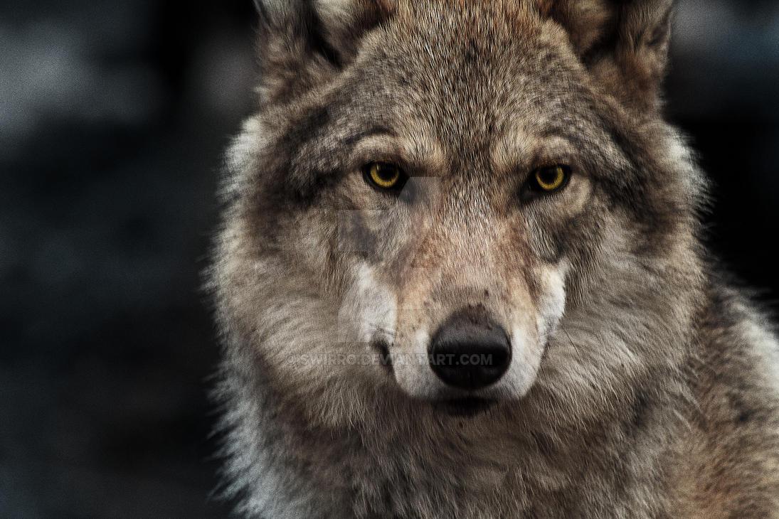 Wolf by Swirro