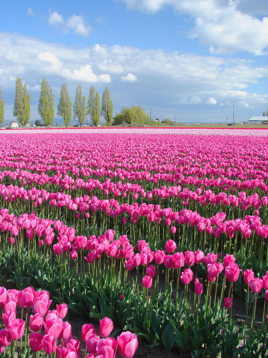 Pink Tulips 2 by dsiegel