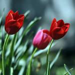 Tulip Trio by ericthom57