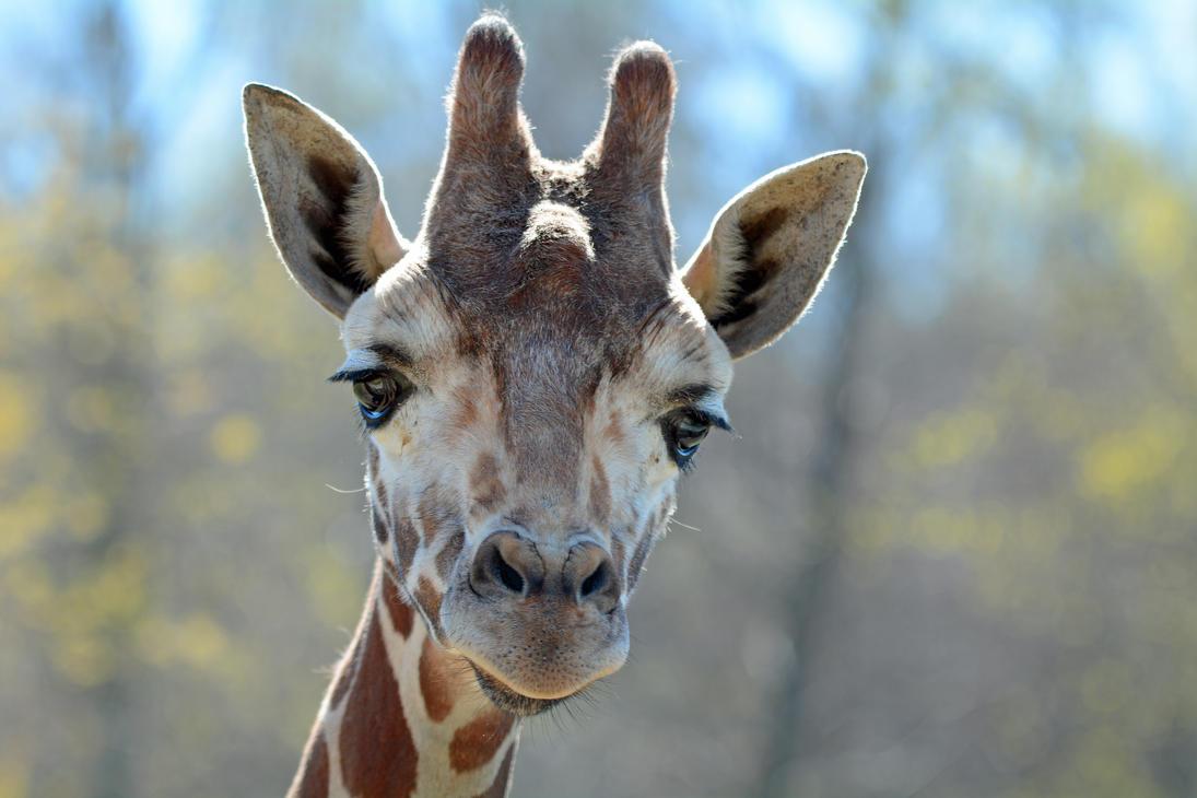 Reticulated Giraffe by ericthom57