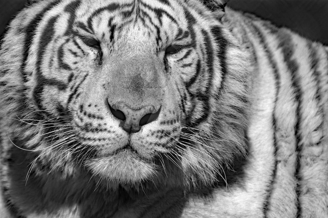 White Bengal by ericthom57