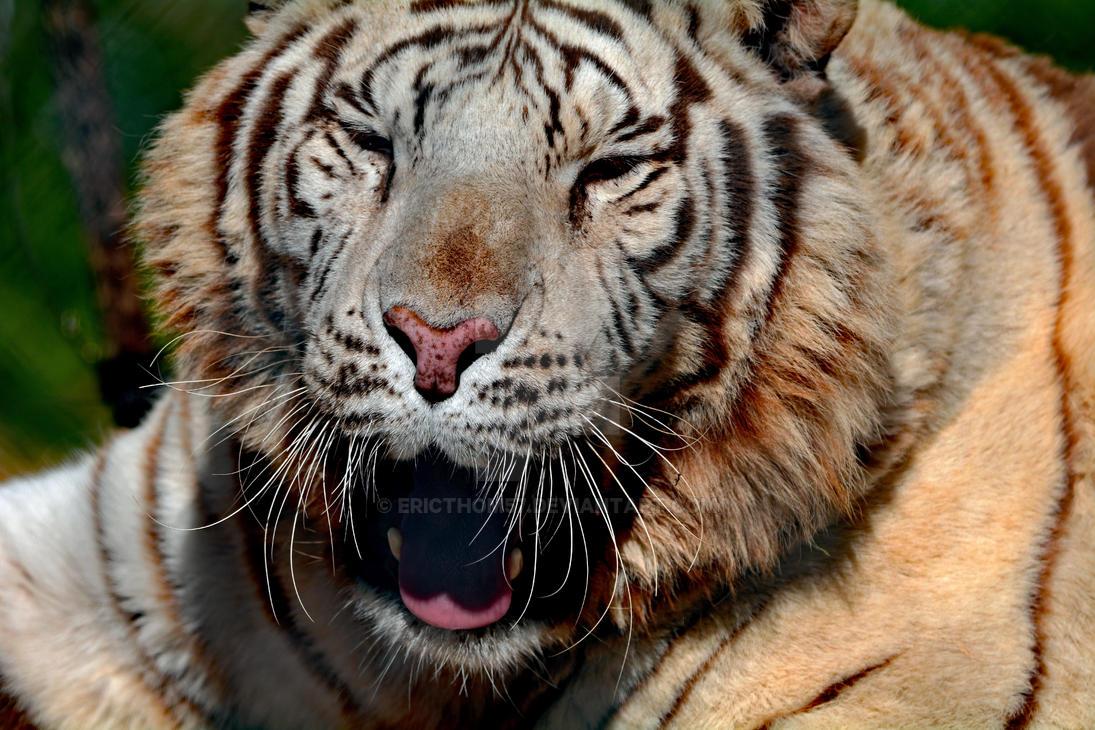 Tiger Talk by ericthom57